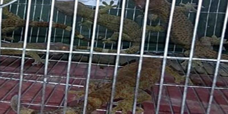 বগুড়ায় বিরল প্রজাতির ৫ তক্ষক জব্দ॥ আটক ৩