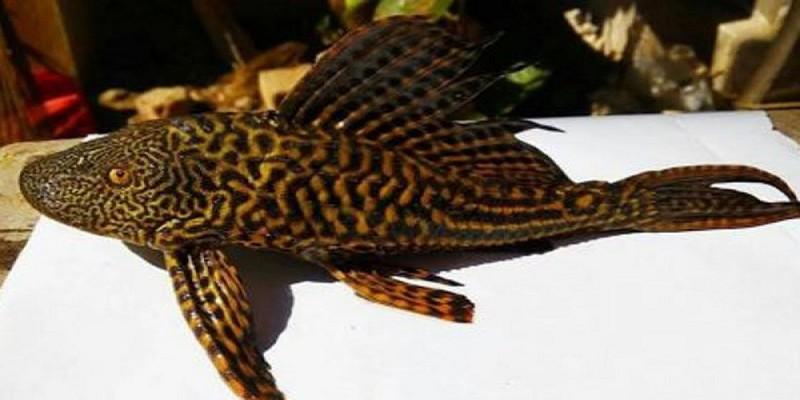 চুয়াডাঙ্গায় পুকুরে ধরা পড়লো বিরল প্রজাতির মাছ॥