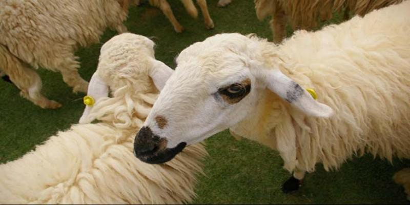 জোয়ারের পানিতে রামগতির বিচ্ছিন্ন চরে ৩৭৫ ভেড়ার মৃত্যু॥ ৪০লাখ টাকার ক্ষতি