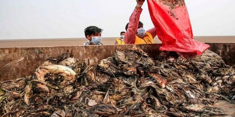 ভারতের রাজস্থানে হঠাৎ মারা গেল ১০ হাজার পাখি॥