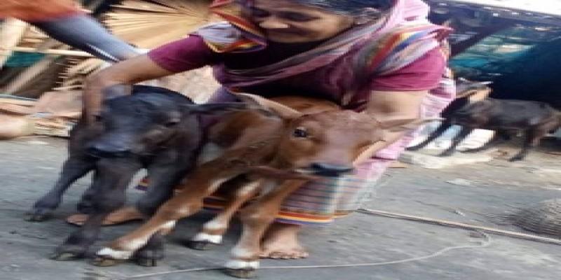 ডুমুরিয়াতে একটি গাভীর দুই বাচ্চা॥ দর্শক-জনতার ভীড়